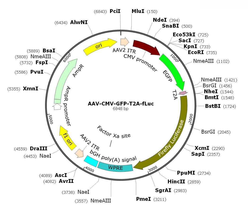 Pre-made recombinant AAV; AAV-CMV-GFP-T2A-fLuc; AAV9-CMV-GFP-T2A-fLuc; AAV-GFP-T2A-fLuc