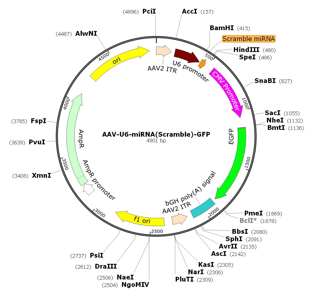 AAV-U6-miRNA(scramble)-CMV-GFP; AAV1-U6-miRNA(scramble)-GFP