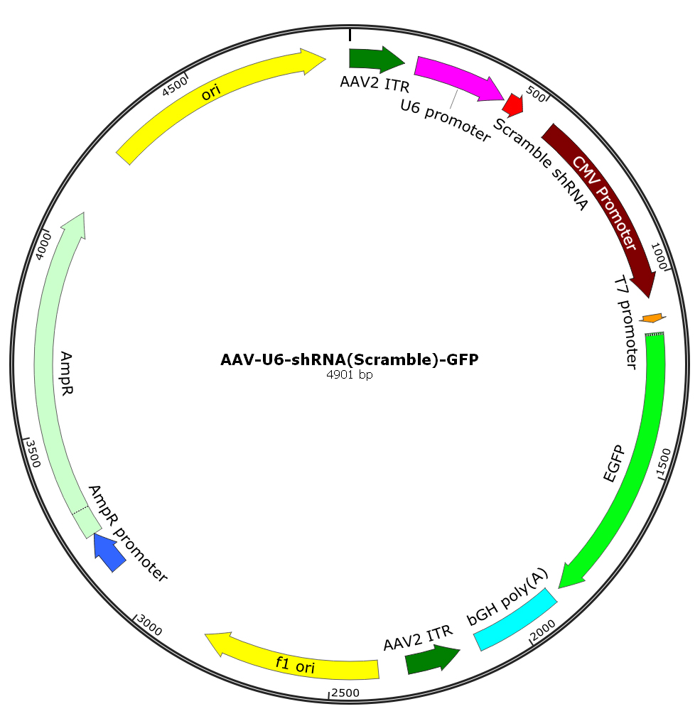 AAV-U6-shRNA(scramble)-GFP; AAV5-U6-shRNA(scramble)-GFP