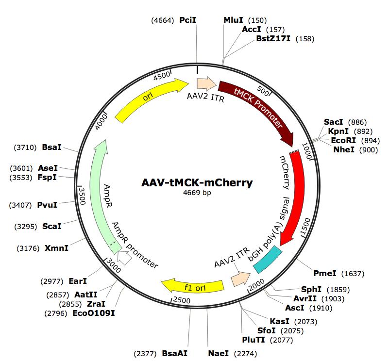 Pre-made recombinant AAV; AAV-tMCK-mCherry; AAV9-tMCK-mCherry