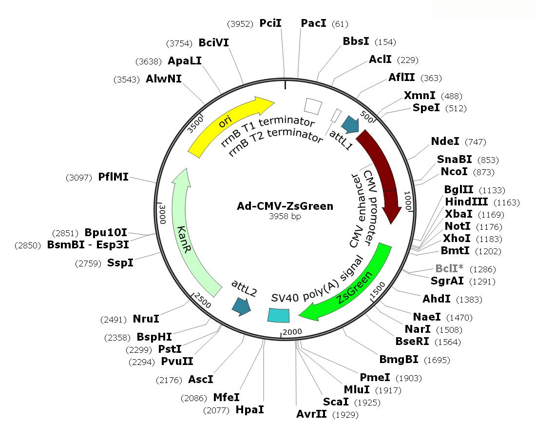 Human Adenovirus Type5 (dE1/E3);  Ad-CMV-ZsGreen; Ad-ZsGreen