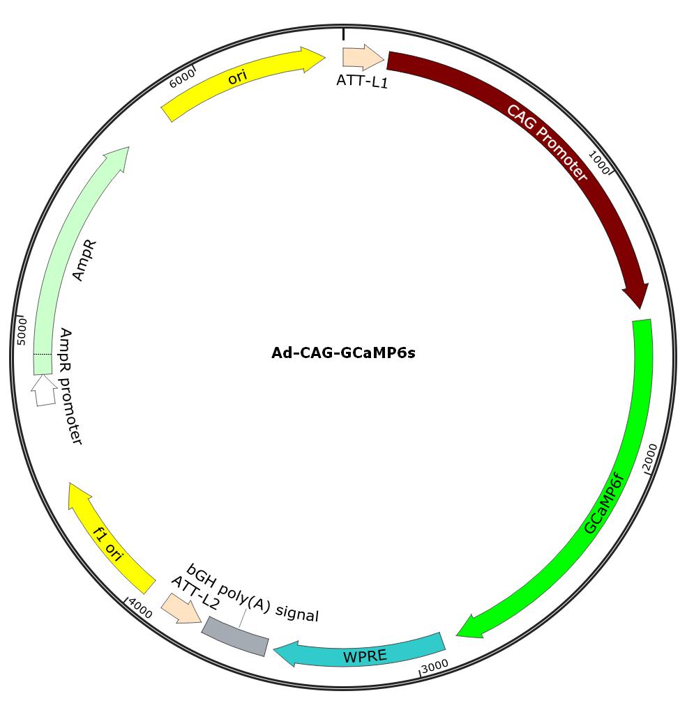 Ad-CAG-GCaMP6s; Ad-CBA-GCaMP6s; Pre-made Adenovirus