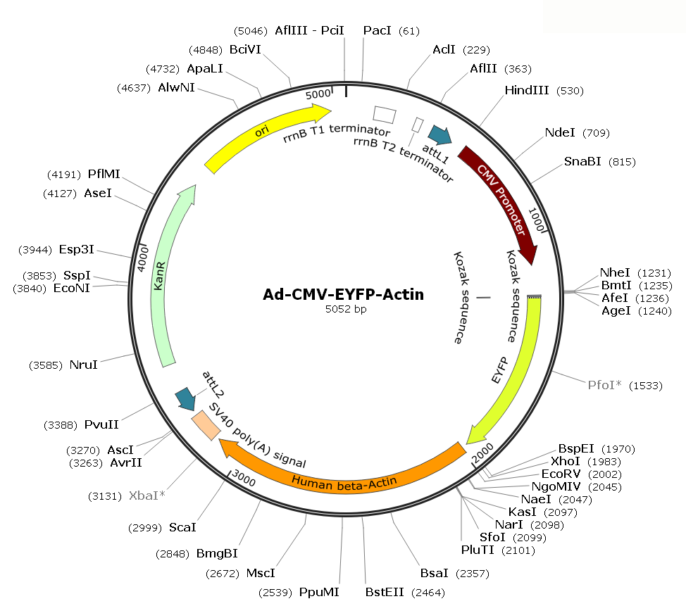 Ad-CMV-EYFP-Actin; Ad-EYFP-Actin; Pre-made Adenovirus