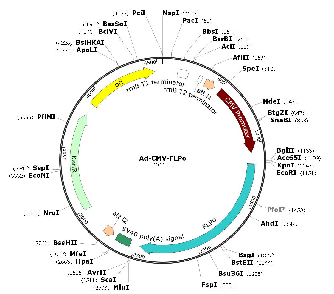 Pre-made human adenovirus serotype 5 (dE1/E3), FLPo recombinase adenovirus; Ad-CMV-FLPo; Ad-FLPo
