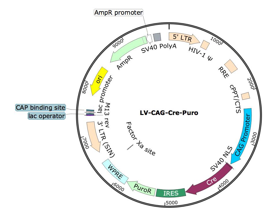 LV-CAG-Cre; LV-CAG-Cre-Puro; LV-CBA-Cre-Puro; CAG-Cre-Puro Lentivirus