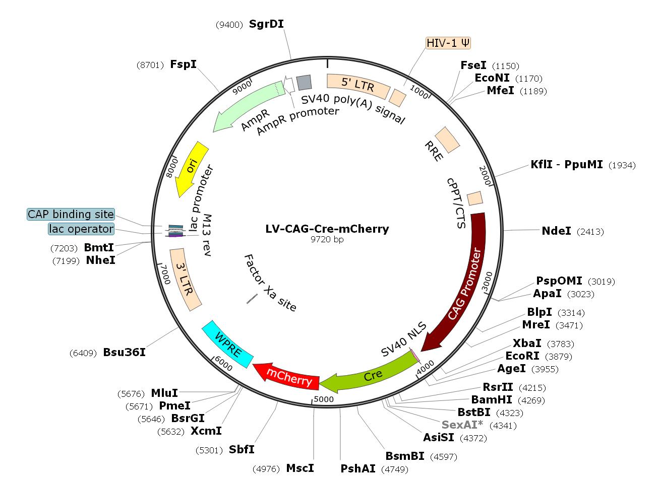 Pre-made recombinant lentivirus; LV-CAG-Cre-mCherry; LV-CBA-Cre-mCherry; CAG-Cre-mCherry Lentivirus; CBA-Cre-mCherry Lentivirus