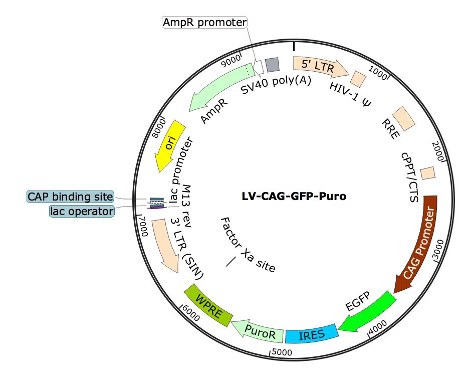 LV-CAG-GFP; LV-CAG-GFP-Puro; LV-CBA-GFP-Puro; CAG-GFP-Puro Lentivirus