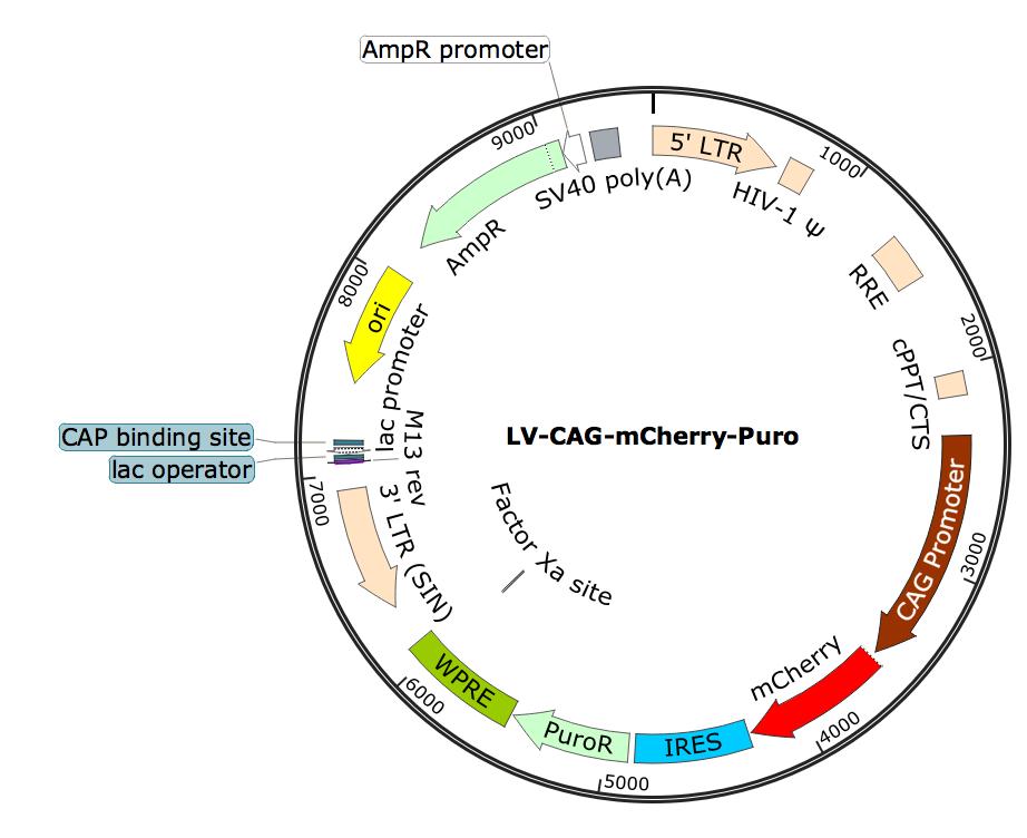 LV-CAG-mCherry; LV-CAG-mCherry-Puro; LV-CBA-mCherry-Puro; CAG-mCherry-Puro Lentivirus