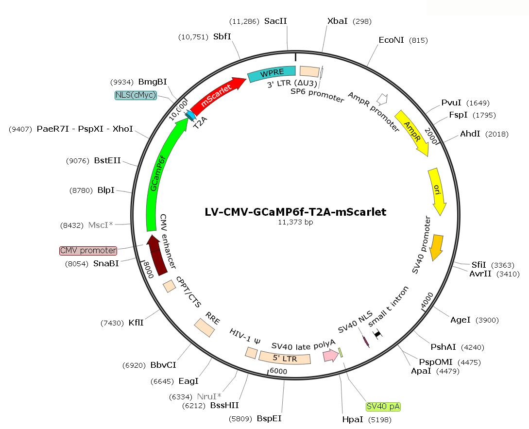 Pre-made recombinant lentivirus; LV-CMV-GCaMP6f-T2A-mScarlet; CMV-GCaMP6fLentivirus