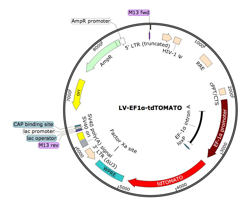 LV-EF1α-tdTOMATO; LV-EF1A-tdTOMATO; LV-EF1α-tdTOMATO; EF1α-tdTOMATO Lentivirus; EF1A-tdTOMATO-Puro Lentivirus