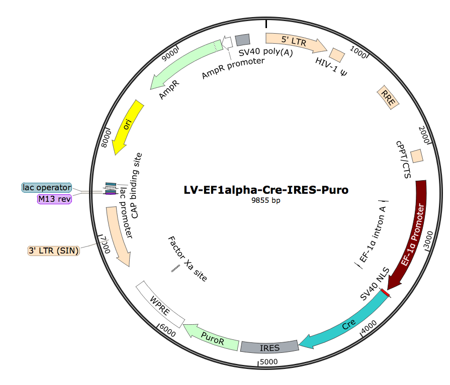 LV-EF1α-Cre-Puro; LV-EF1A-Cre-Puro; LV-EF1α-Cre-IRES-Puro; EF1A-Cre-Puro Lentivirus; EF1α-Cre-Puro Lentivirus