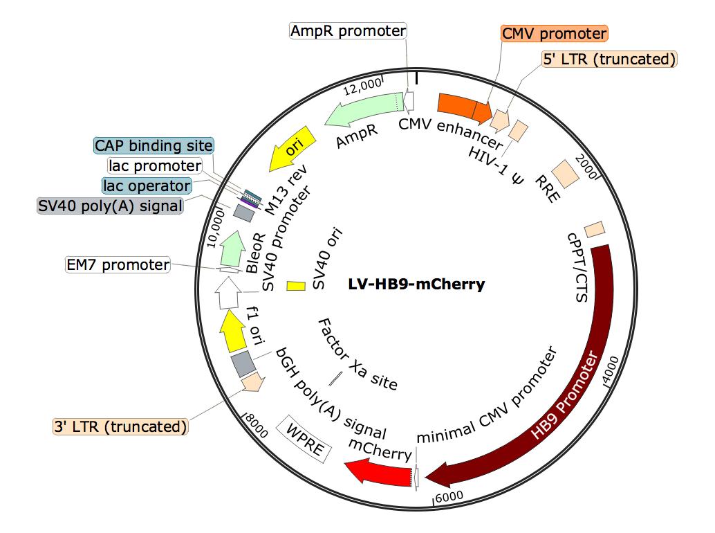 LV-HB9-mCherry; HB9-mCherry Lentivirus