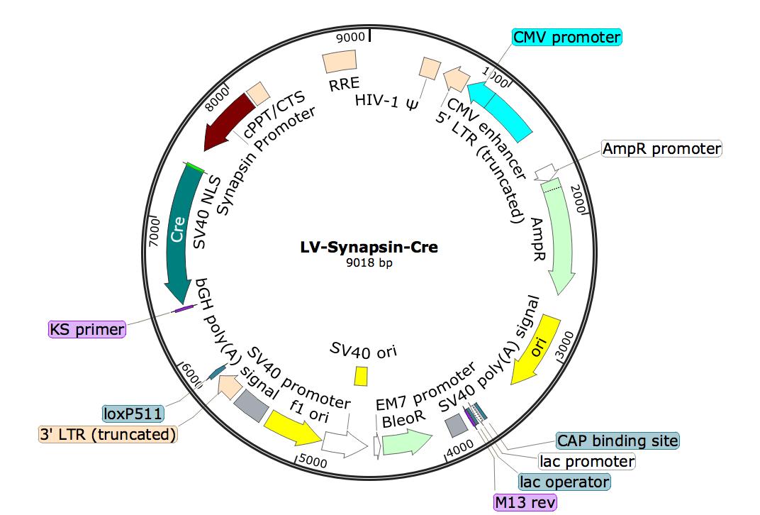 LV-Synapsin-Cre; LV-Syn-Cre; LV-Synapsin-Cre; Synapsin-Cre Lentivirus