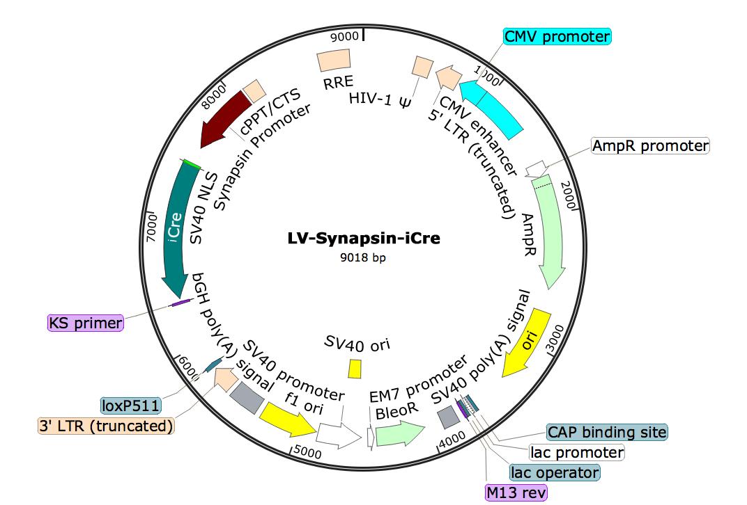 LV-Synapsin-iCre; LV-Syn-iCre; LV-hSyn-iCre; Synapsin-iCreLentivirus