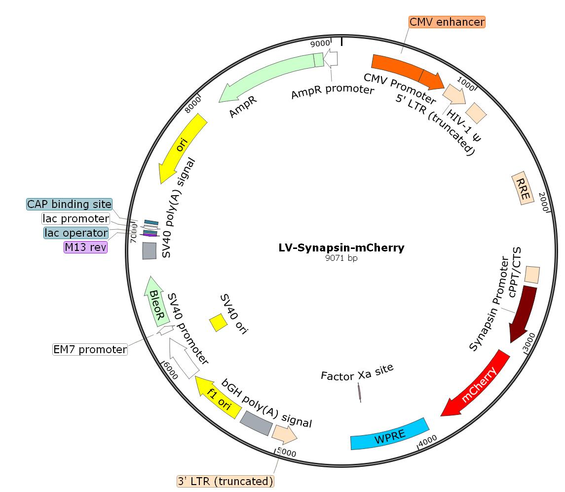 LV-Synapsin-mCherry; LV-Syn-mCherry;Syanpsin-mCherry Lentivirus