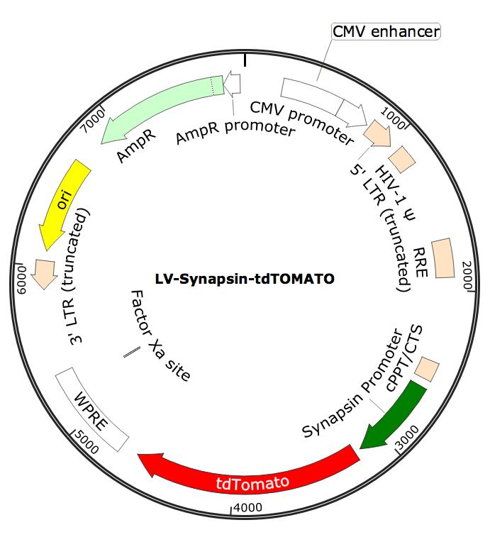 LV-Synapsin-tdTOMATO; LV-Synapsin-tdTOMATO; LV-Synapsin-tdTOMATO; Synapsin-tdTOMATO Lentivirus; Synapsin-tdTOMATO Lentivirus