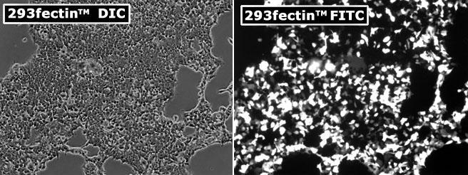 LipoD203_vs_293fectin_HEK293_II