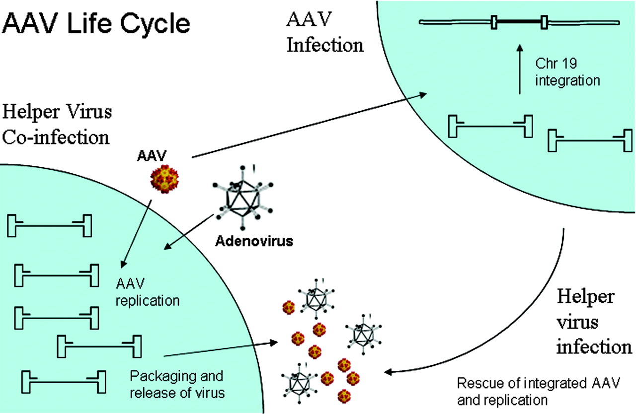 AAV Life Cycle