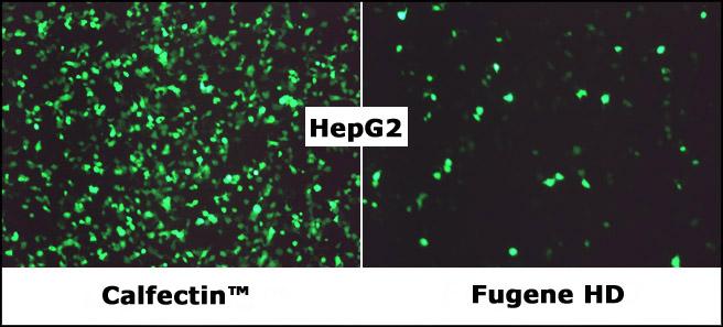 CalFectin_vs_FugeneHD_HepG2