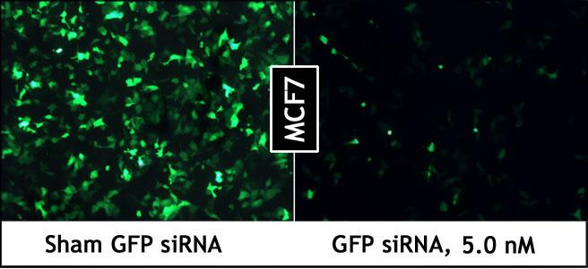 PepMute_GFP_siRNA_MCF7